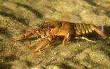 Photo of a spothanded crayfish viewed through creekwater.