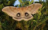 Polyphemus Moth, Belton MO