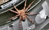 Photo of a dark fishing spider standing on a rubber tire.