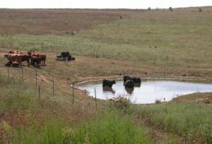 Photo of a small farm pond with several cattle, some in the pond
