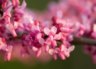 pink redbud flowers