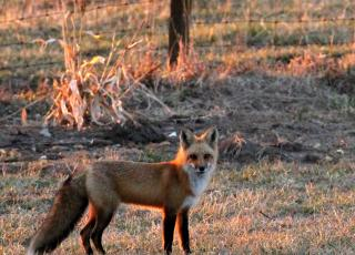 Red fox walking along a fence in early evening.