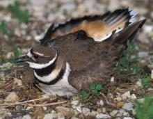 Photo of a killdeer on its nest, beginning distraction display.