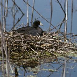 Photo of an American coot on its nest.